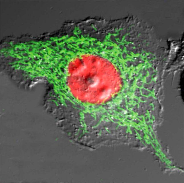Histone 2B_mitochondria_1